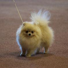 Breed Profile: Pomeranian
