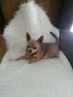 Donna og Lille Chihuahua | Pawshake