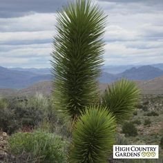 Yucca brevifolia v. jaegeriana (Compact Joshua Tree Yucca) is unique and other worldly. This compact form of the fabled JoshuaTree is cold hardy and a very hard-to-find variety of this fabled desert tree. Low Water Landscaping, Landscaping Plants, Cacti And Succulents, Cactus Plants, Water Plants, Desert Trees, High Country Gardens, Blooming Trees, Desert Life