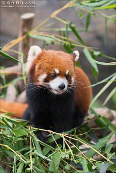 Red Panda - 01