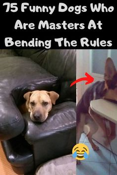 Some dogs really hate the rules. We've gathered 75 funniest photos of dogs who like to bend the rules to share with you today. Whether that means no sitting on the furniture or no begging for food, for a dog, these things are practically life or death.
