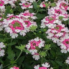 Verbena 'Twister Pink' -- Select Seeds