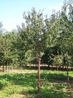 Tibetan Cherry - Prunus Serrula « Chew Valley Trees