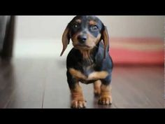 The Cutest Mini Dachshund Puppy