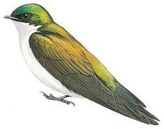 Golden Swallow (Tachycineta euchrysea)