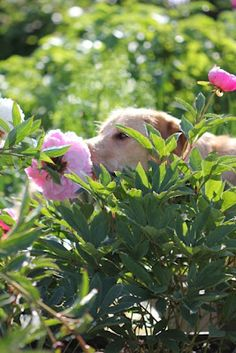 Spring is here and the garden and the dogs are loving it Love Flowers, Wild Flowers, Beautiful Flowers, Pink Garden, Summer Garden, Smelling Flowers, How To Make Pie, Goat Farming, Dog Life