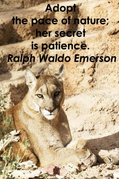 """""""Adopt the pace of nature: her secret is patience."""" – Ralph Waldo Emerson – On image of mountain lion taken at Arizona Sonora Desert Museum by Florence McGinn -- Love nature and photography?  Then, go photograph at the Arizona-Sonora Desert Museum!  Stop in the Mountain Woodland area for the chance to photograph the Mexican wolf, mountain lion, and black bear!  http://www.examiner.com/article/go-photograph-at-arizona-sonora-desert-museum"""