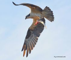 It's lunchtime in Galveston! #Nature #Osprey