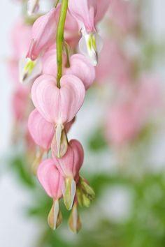 Pastel Pink and Green Bleeding Heart Flower, Bleeding Hearts, Pretty In Pink, Pink Flowers, Beautiful Flowers, Pink Garden, Dream Garden, My Flower, Flower Power