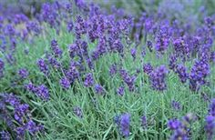 Lavender is a sedative, diuretic, carminative, antiseptic, anti-viral, and anti-inflammatory herb that has been medicinally used for centuries. Lavender is known to help relieve nervous headaches, migraines, anxiety, depression, insomnia, dizziness, bloating, indigestion, flatulence, hypertension, asthma, and reduce symptoms from colds, flu, & fever.