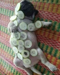 Relaxing #pug #pugs #puglife #pugsofinstagram #pugstagram #instapug #pugsnotdrugs #puglove #pugpuppy #pugnational #pugoftheday #pugloversclub #cutepug #cutepuppy #pugofinstagram #pugsrequest #dog #dog_of_instagram #pugbasement #puglover #puglovers Please follow me . Love to tag? Please do! !!!if you love this page and love tshirt , please click on the link in my bio (profile) to see the price and the sizes.