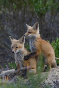https://flic.kr/p/4RSCdu   Red Fox Pups Morro Bay, CA 28 May 2008   <b>NOTE LICENSE CHANGE:  Effective 06 Sept. 2011, © All Rights Reserved, due to image being adopted by Getty Images.  Please contact Getty Images to use this photo.</b>  © 2008 Michael L.