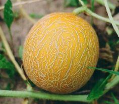 На бахче дыня растет почти без влаги, тогда создайте ей такие же условия, и поливайте как можно умеренней