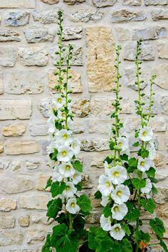 Hollyhocks growing along a brick wall