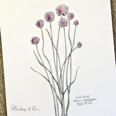 ©Hackney & Co Day 52 #wildchives #watercolour #scottish #wildherb #botanicalprints #wildherbillustration #herb #100daysofillustration #hackneyandco100days #herbology