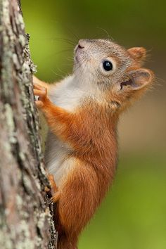 Find images and videos about animal, cute animals and squirrel on We Heart It - the app to get lost in what you love. Animals And Pets, Baby Animals, Funny Animals, Cute Animals, Cute Squirrel, Baby Squirrel, Squirrels, Beautiful Creatures, Animals Beautiful