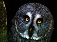 . Great grey owl in the woods at night.