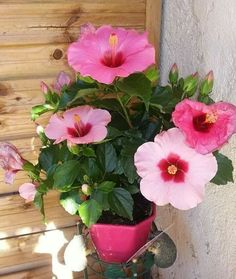 Coffee Grounds Superthrive Feeds My Hibiscus Hometalk Gardening