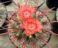 Ferocactus gracilis v coloratus