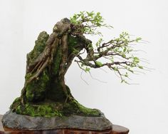 windswept bonsai | And this is how it looks now (A) :