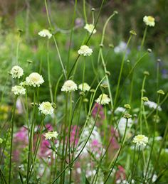 Cephalaria gigantea is fabulous for the back of a border. Max height with open, airy habit. Pretty pale yellow-green scabious-type flowers on tall willowy stems