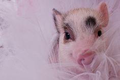 Pig in a tutu!!!!!