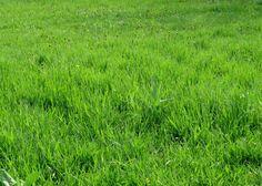 Cómo salvar mi césped después del invierno - http://www.jardineriaon.com/como-salvar-mi-cesped-despues-del-invierno.html #plantas
