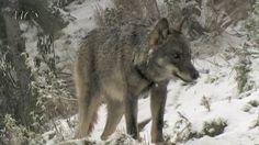 lobos ibericos. (wolves)