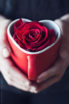 Red Rose in a Heart-Shaped Cup by Helen Sotiriadis - Stocksy United Beautiful Rose Flowers, Flowers For You, Red Flowers, Romantic Roses, Rose Images, Coffee Love, Coffee Heart, Heart Art, Heart Ring