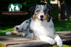 Australian Shepherd Loyal and devoted to their owners, these dogs are wary of strangers. Aussies are uncannily smart, independent, and can act on their strong herding instincts. Best Medium Sized Dogs, Medium Sized Dogs Breeds, Medium Dogs, Dog Breeds List, Best Dog Breeds, Australian Shepherds, Best Dogs For Families, Family Dogs, Pet Dogs