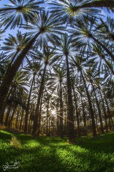 Palm forests are increasing that the valley between high mountains all HH | ahmad al msood, photographer