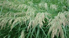 "Calamagrostis-canadensis ""Blue-Joint Grass"" Sun/Part Shade Mesic/Wet 3-5ft"