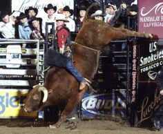 Bull Riding Hall of Fame | Little Yellow Jacket