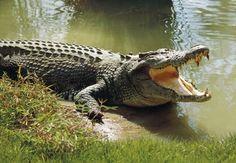 Robben mordu par un crocodile au Qatar Crocodile Marin, Crocodile Facts, Crocodile Pictures, Crocodile Eyes, Crocodile Animal, Reptiles And Amphibians, Mammals, Characteristics Of Reptiles, Forest Department