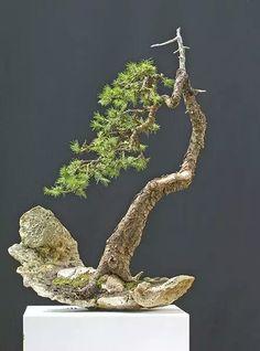 Bonsai on a rock