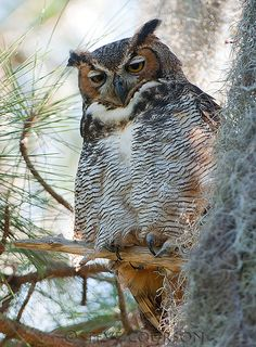 Great Horned Owl - beautiful ! All this owl needs now is a pair or spectacles, and he will look like some kind of professor that I am sure I saw on one of the many DVD\s my grandsons have watched.