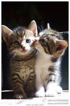 Kitten licking another kitten.