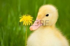 animals spring: Little yellow duckling with dandelion on green grass
