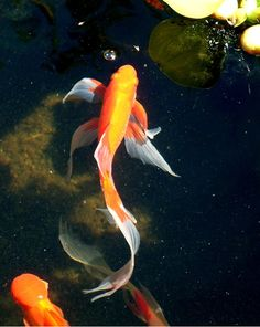 Goldfish - Another long finned Comet