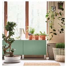 An Insider's Guide to Getting First Dibs on the Best Ikea Houseplants - Gardenista Bonsai Ficus, Ginseng Bonsai, Ginseng Plant, Ikea Plants, Cool Plants, Potted Plants, Indoor Plants, Indoor Gardening, Decoration Ikea