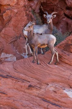 Big Horn Sheep - Valley of Fire: