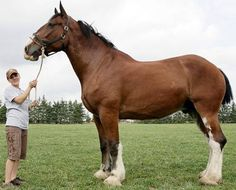 World's largest clydesdale. Measures 6'7'' at shoulder and weighs 3000 pounds. Not photoshopped.