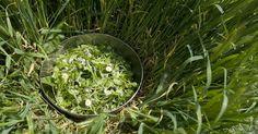 Har salladen slokat, ätits upp av sniglar? Plocka vilda blad som salladsgrönt i stället. Här är 7 sköna vildingar du kan äta utan att tillaga.