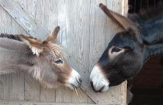 Why You should have a Donkey. Courtesy: HORSE & MAN, Grass Valley, CA    (USA)