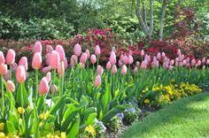 Tulips, my favorite!