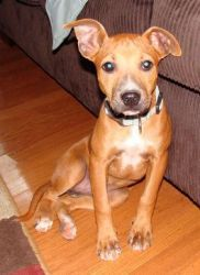 Gracie is an adoptable Terrier Dog in Shelbyville, TN. Gracie is a sweet pup, about 12 weeks old. She is in a foster home and is learning how to be an inside dog and is doing very well in her training...
