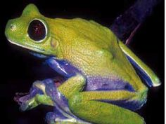Litoria sauroni, a tree frog discovered in Kikori