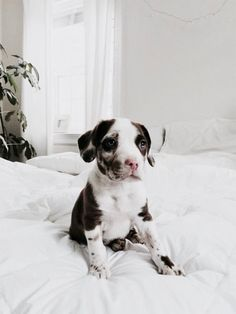 ☼omg I want this doggy! Puppies And Kitties, Cute Puppies, Cute Dogs, Doggies, Animals And Pets, Baby Animals, Cute Animals, Tier Fotos, Cute Creatures