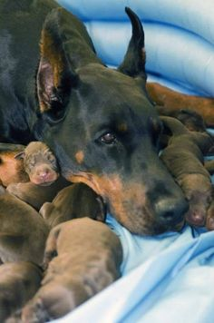 #Dobermans. Mom amd cute puppies!
