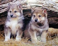 Wolf pups--these reminded me of Bubu! Wolf Photos, Wolf Pictures, Animal Pictures, Beautiful Wolves, Animals Beautiful, Cute Baby Animals, Animals And Pets, Wolf Population, Wolf Love